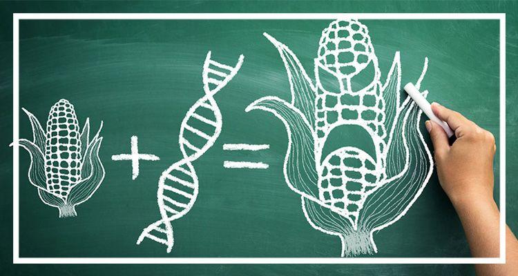 Генно-модифицированная кукуруза
