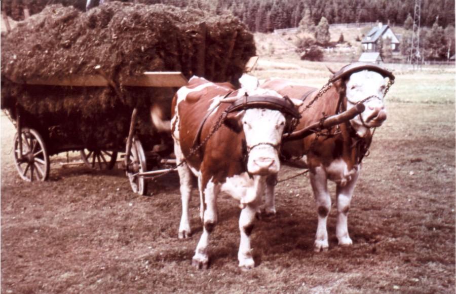 Упряжь для быков