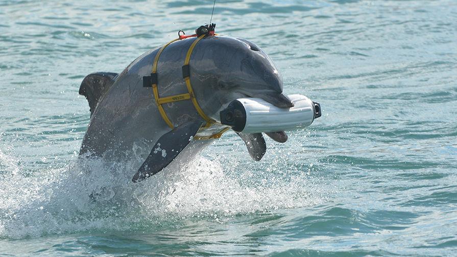 Дельфин-шпион