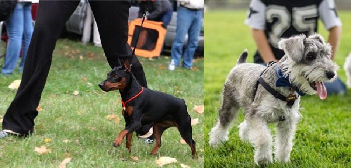 Две Самые Маленькие Служебные Породы Собак
